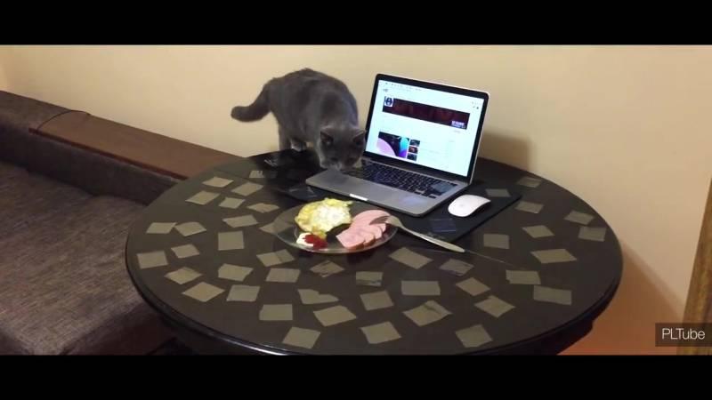 7 способов отучить кошку лазить по столам