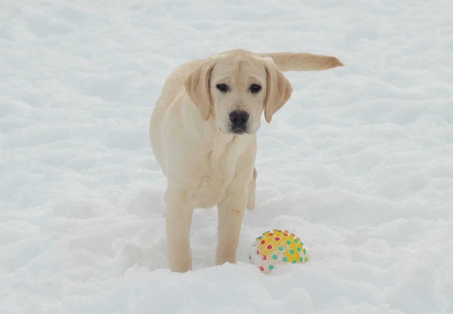 Как лучше назвать мальчика или девочку породы лабрадор: лучшие клички собак