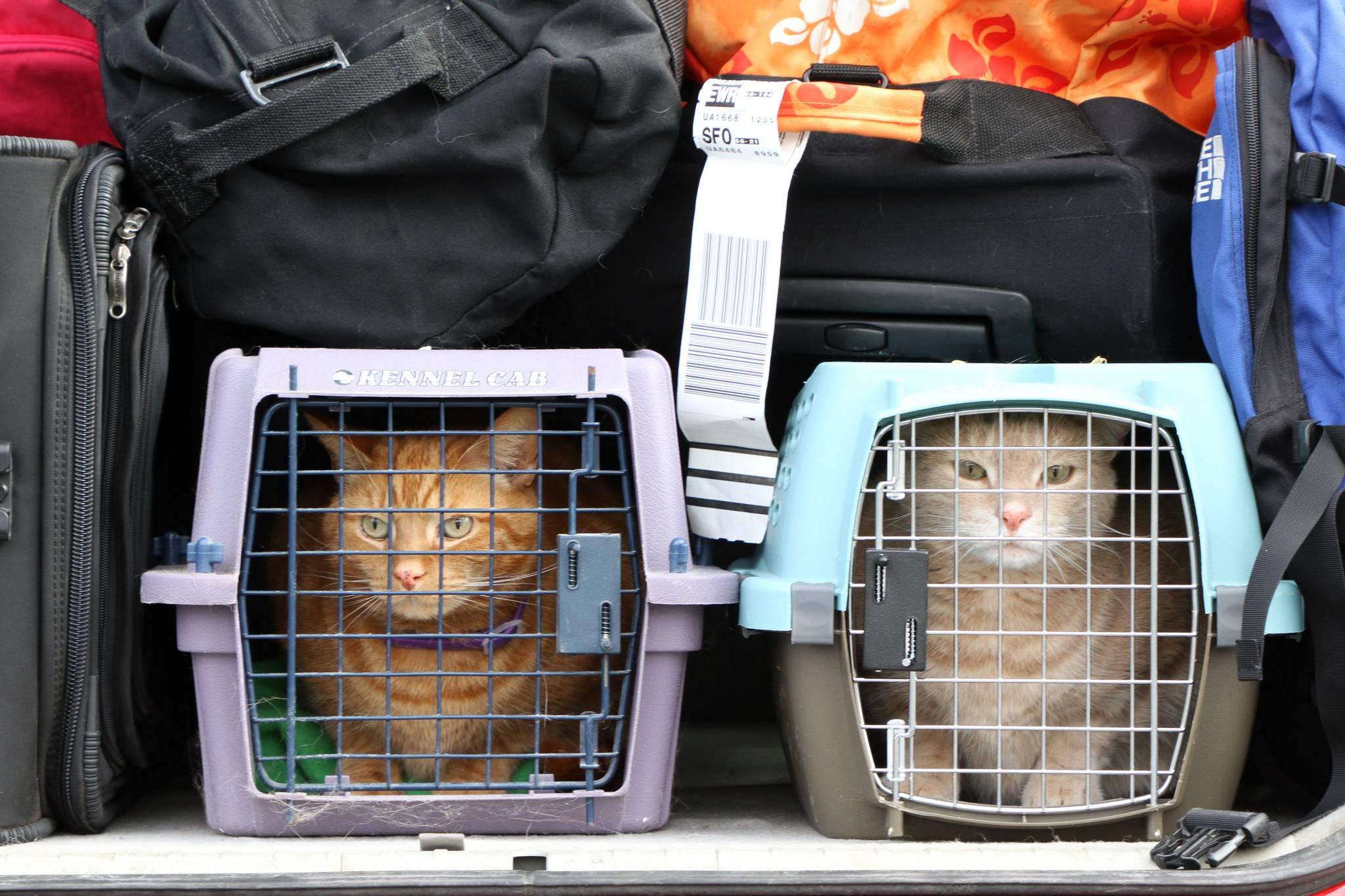 Как перевезти кота в поезде: подробная инструкция и основные правила