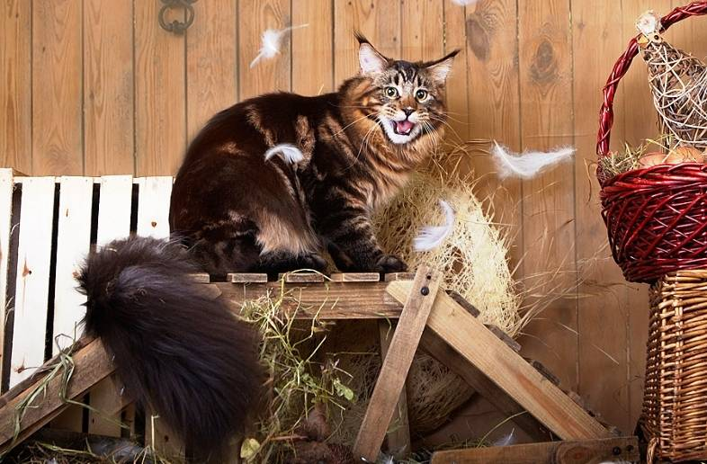 Мейн-кун порода кошек. описание, особенности, характер, уход и содержание