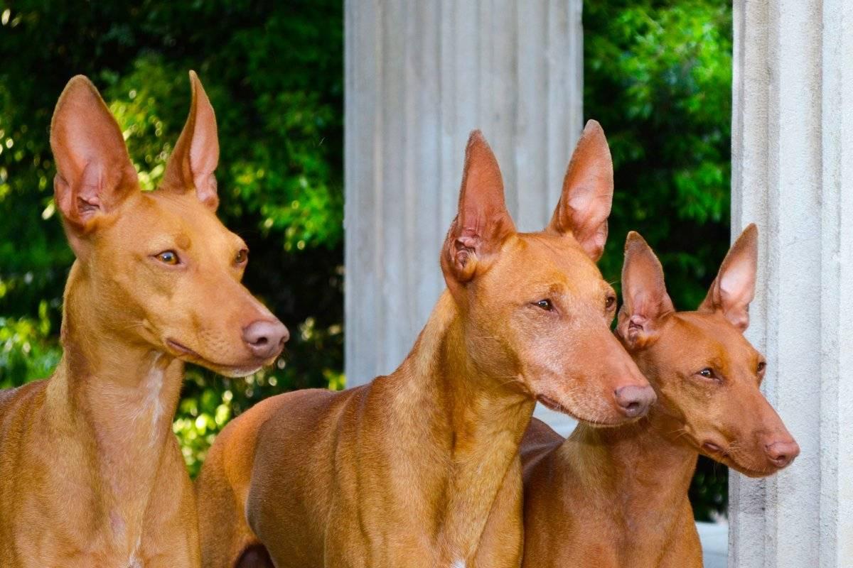 Экслюзивная и редкая порода собак чирнеко дель этна. чирнеко дель этна: фото, описание и характеристика породы, уход