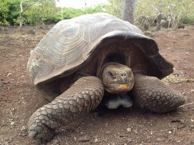 Сколько обычно живут красноухие черепахи в хороших домашних условиях. как продлить жизнь питомцу? - твой питомец