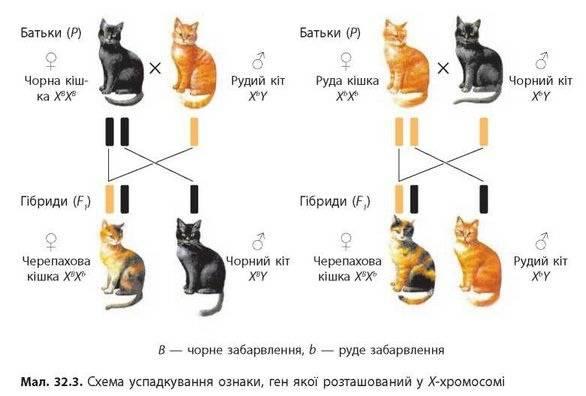Генетические аномалии репродуктивной системы кошек.