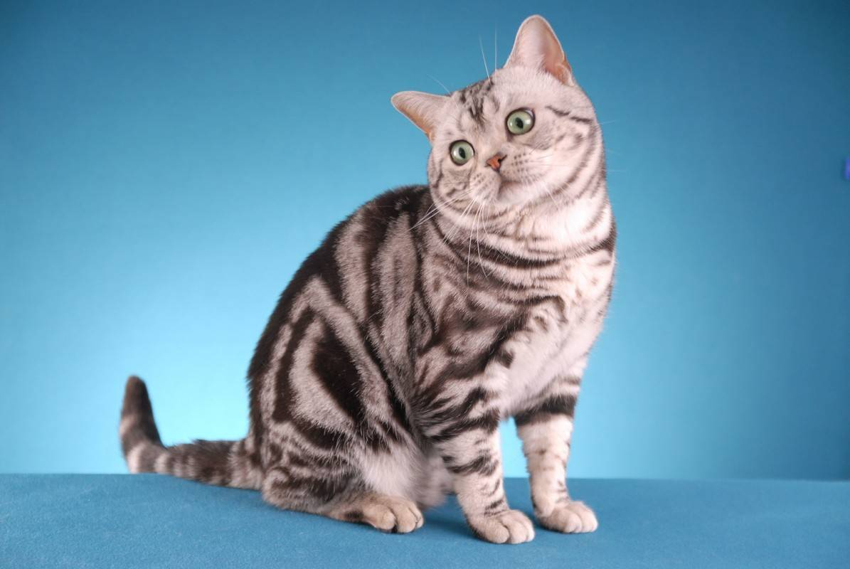 Короткошерстные породы кошек: список пород с описанием и фото