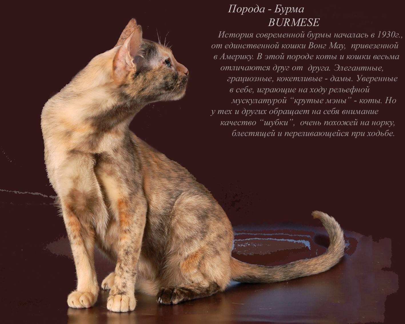 Злая кошка: самые злобные породы, топ 10