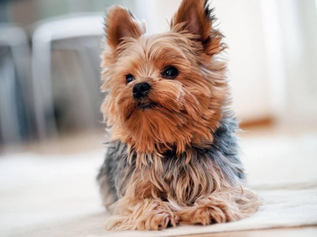 Породы карманных собак
