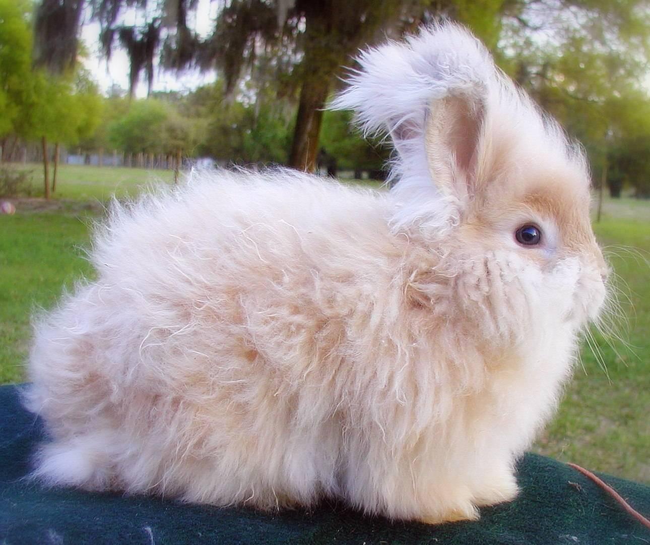 Ангорский кролик — описание и разновидности пород, срок жизни