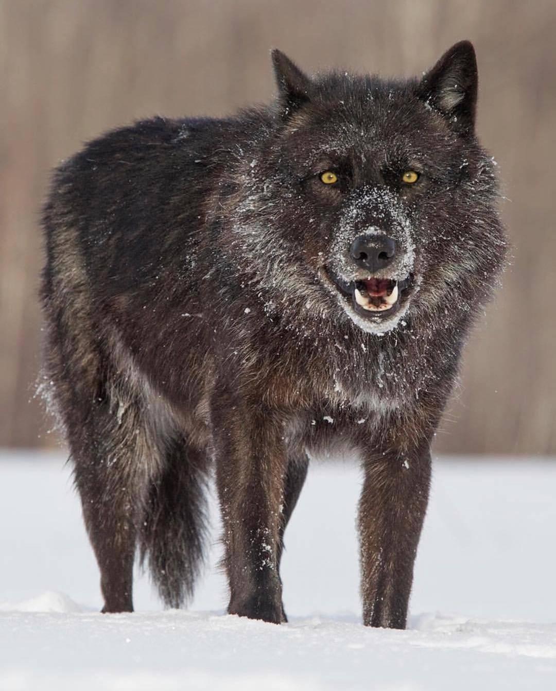 Волкособ: общая характеристика, описание гибридных пород собаки и волка