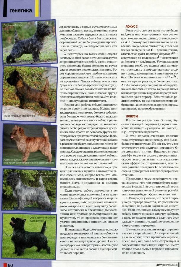 Порода собак керн-терьер: описание и характер, дрессировка и воспитание, отзывы владельцев