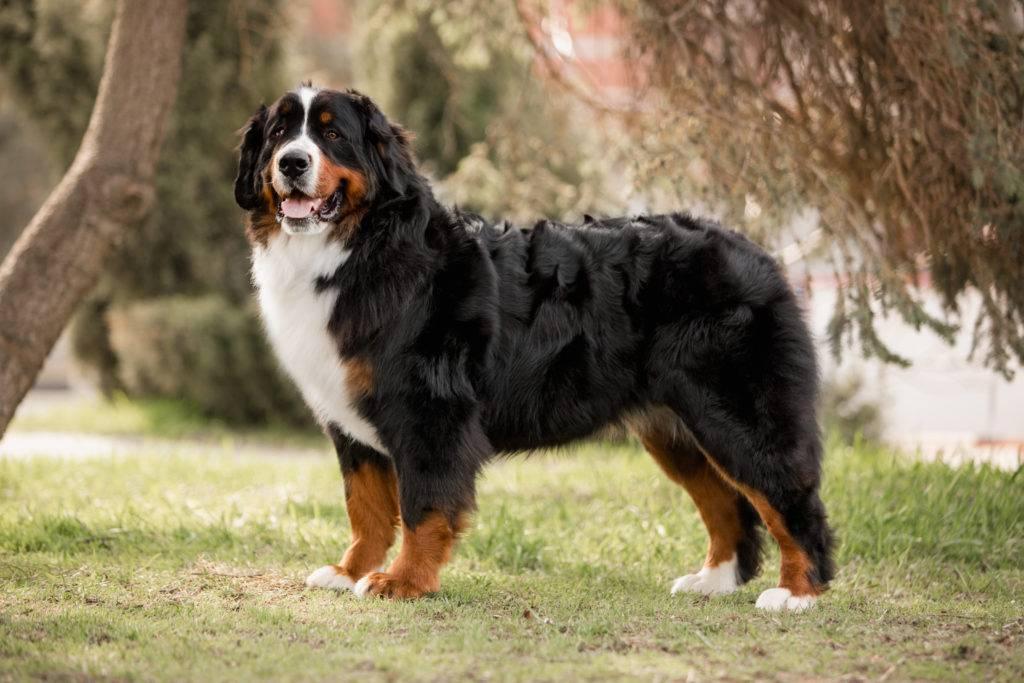 10 лучших пастушьих пород собак с фотографиями и названиями