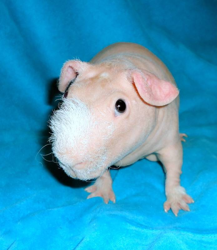 Морская свинка: особенности содержания и описание ухода за грызуном (155 фото)
