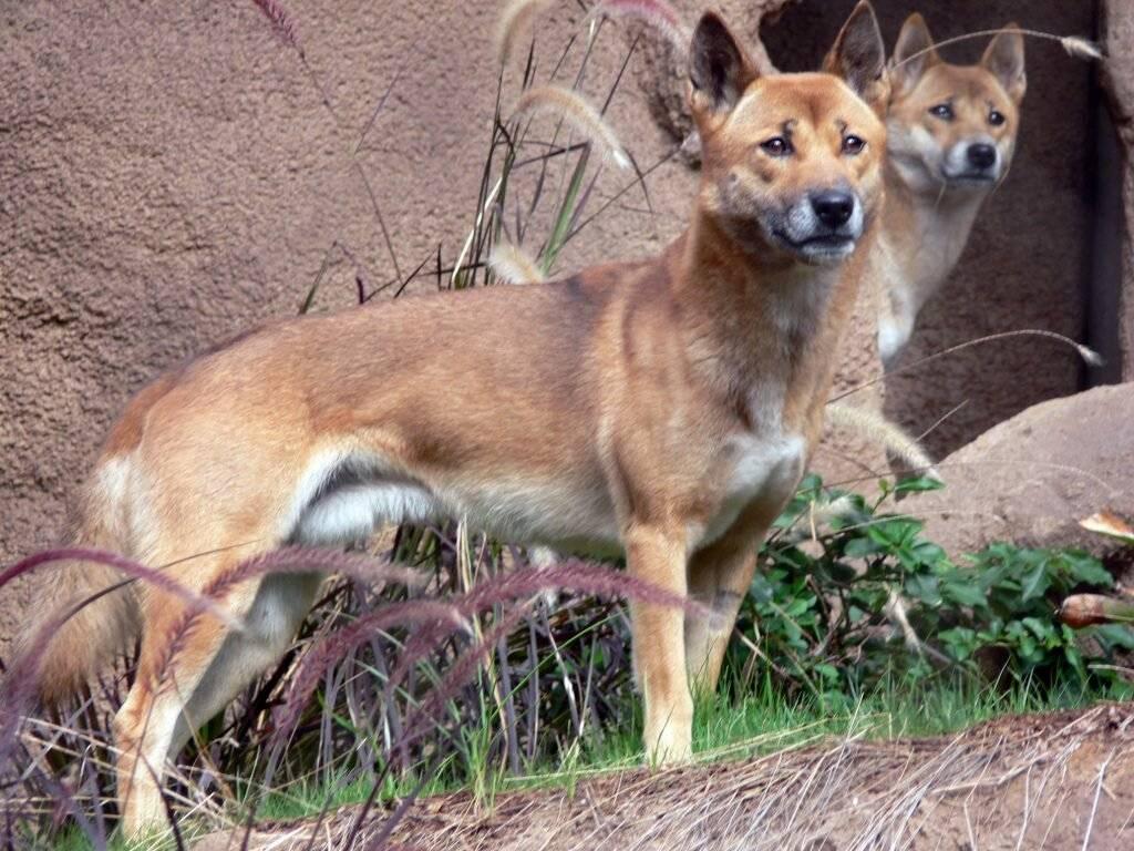 Новогвинейская поющая собака вики