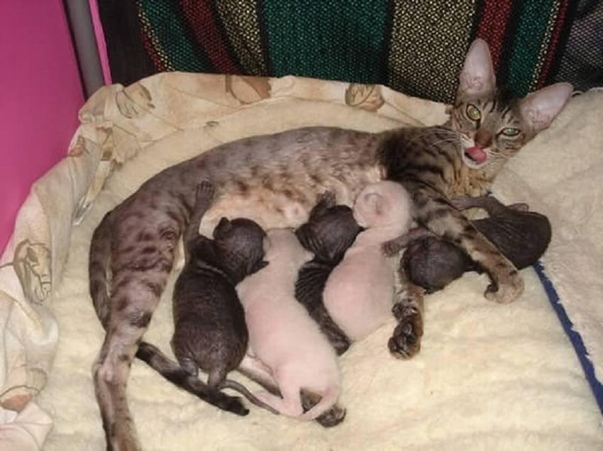 С какого возраста кошка может забеременеть