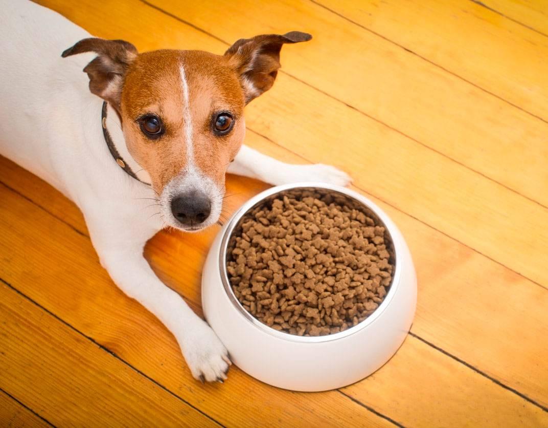 Собака джек рассел терьер: описание породы, характер, уход и содержание, фото, выбор щенка, кормление | zoosecrets