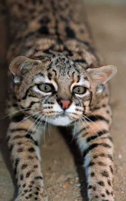 Кошка сафари: советы по уходу, фото породы, цена