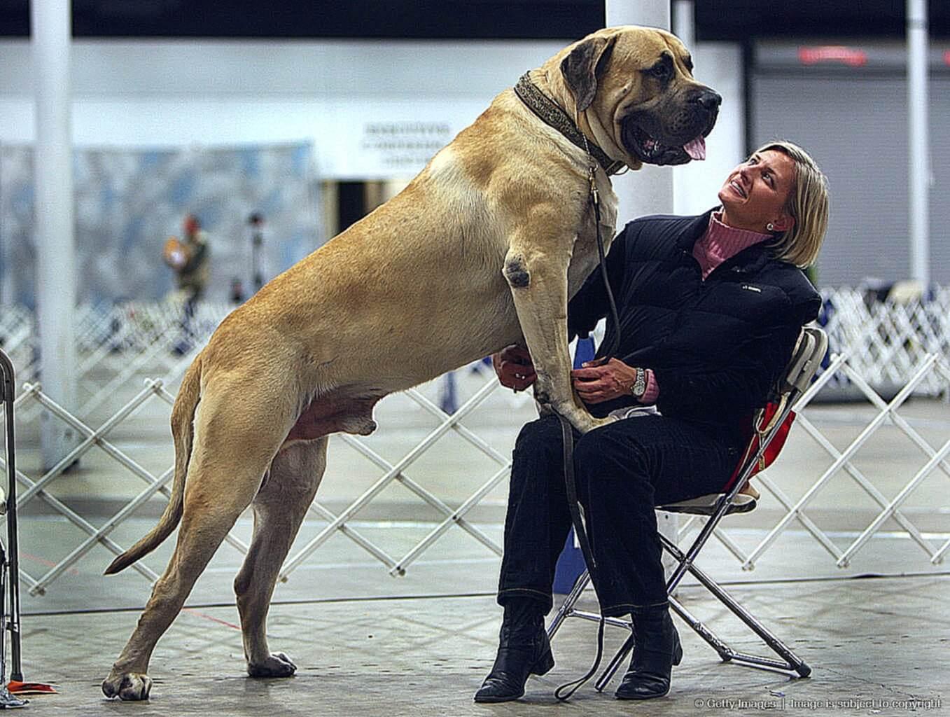 Самые умные породы собак - список по классификации, популярности и способности к дрессировке