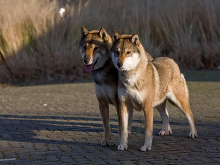 Сикоку (шикоку): описание породы, характеристика, фото | все о собаках