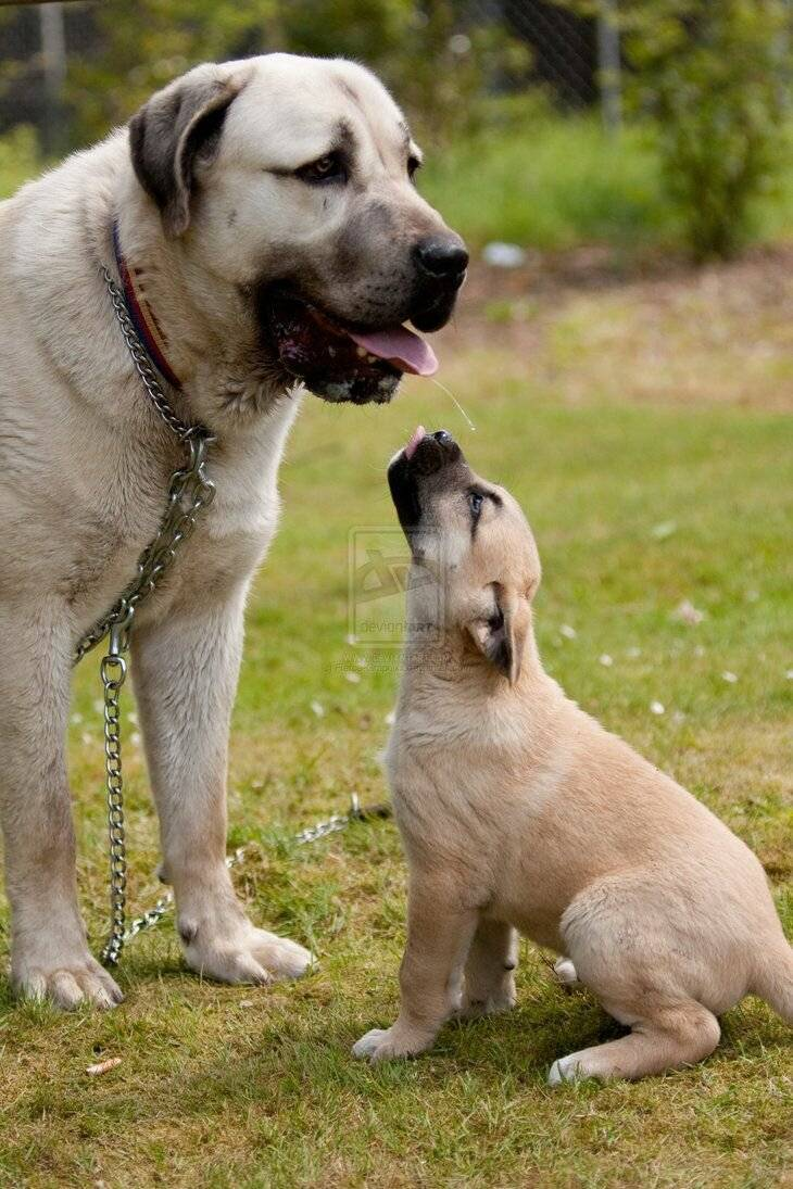 Кангал (турецкая) собака: фото, описание породы волкодав, характеристика, внешний вид, цена щенка