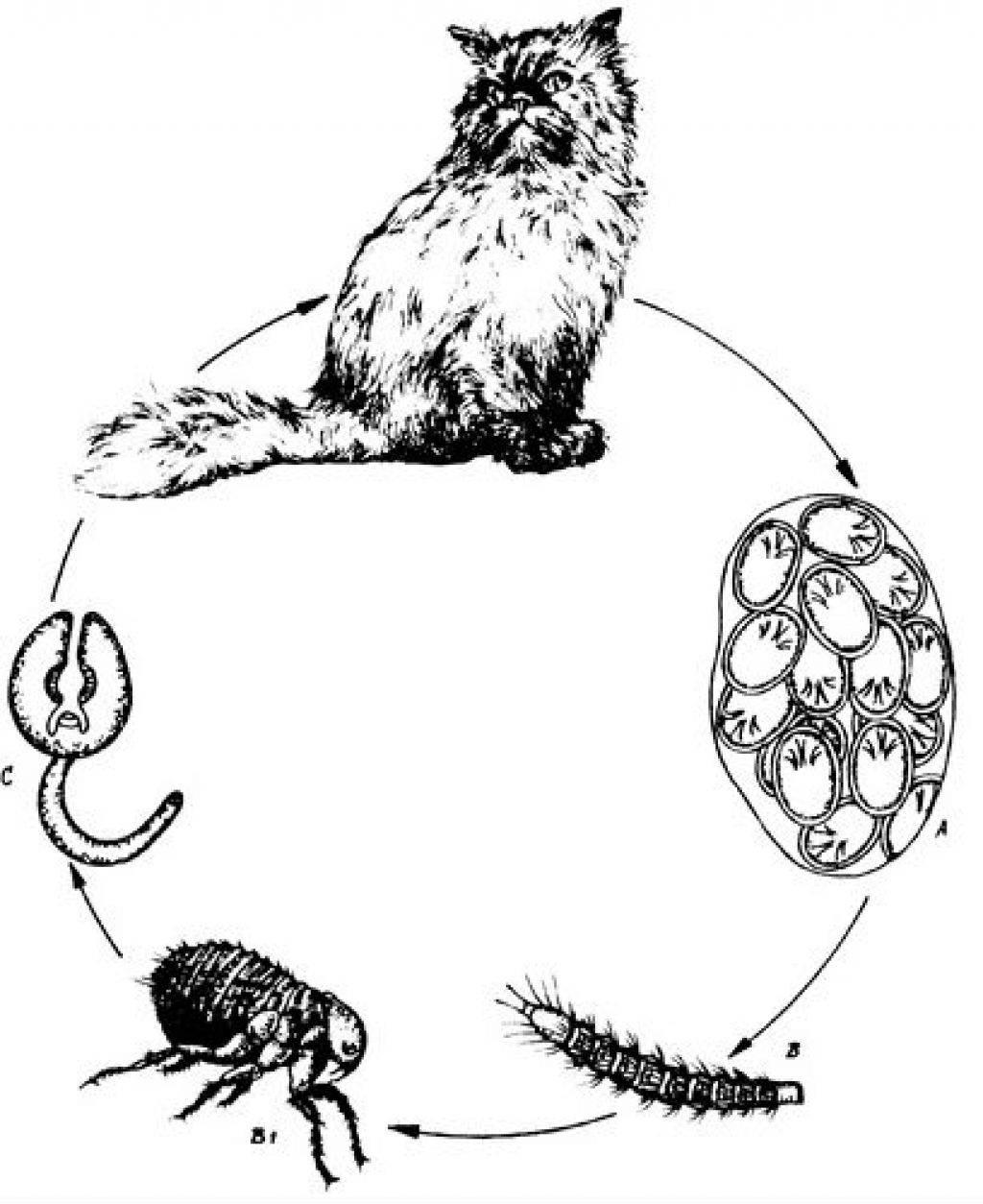 Дипилидиоз у кошек: как избавиться от глистов, чем опасен огуречный цепень для животных и человека