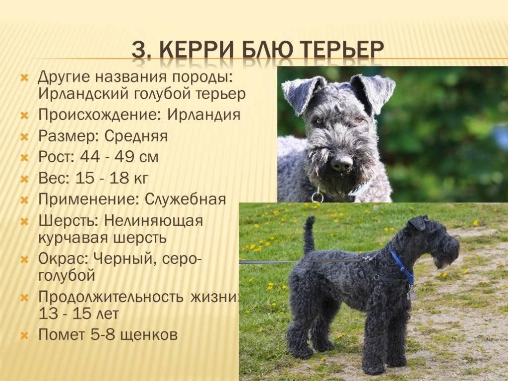 Керн-терьер: описание, особенности, фото, история, щенки