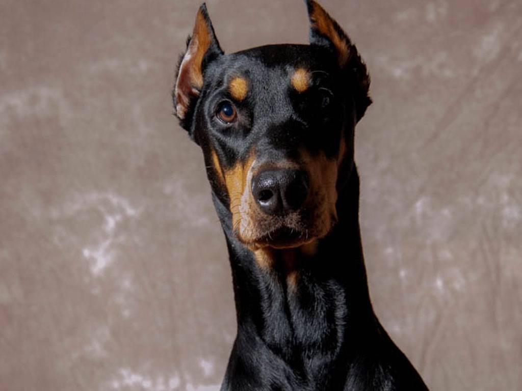 Купирование ушей - статьи о ветеринарии «свой доктор»