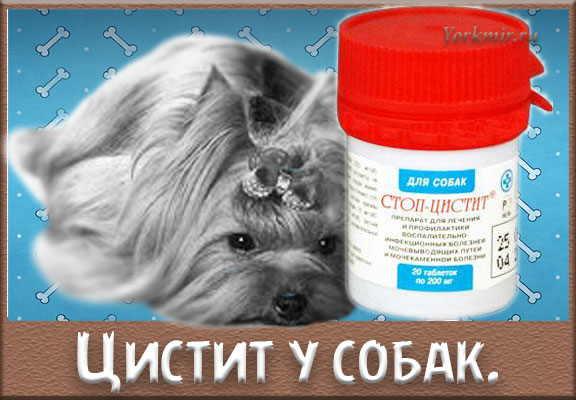 Цистит у собаки: симптомы, лечение и профилактика, препараты