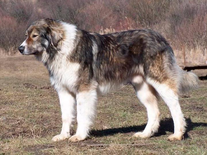 Румынская карпатская овчарка — википедия. что такое румынская карпатская овчарка