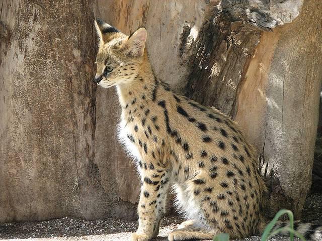 Cервал: описание породы, характер сервала, содержание и уход в домашних условиях, фото кошки