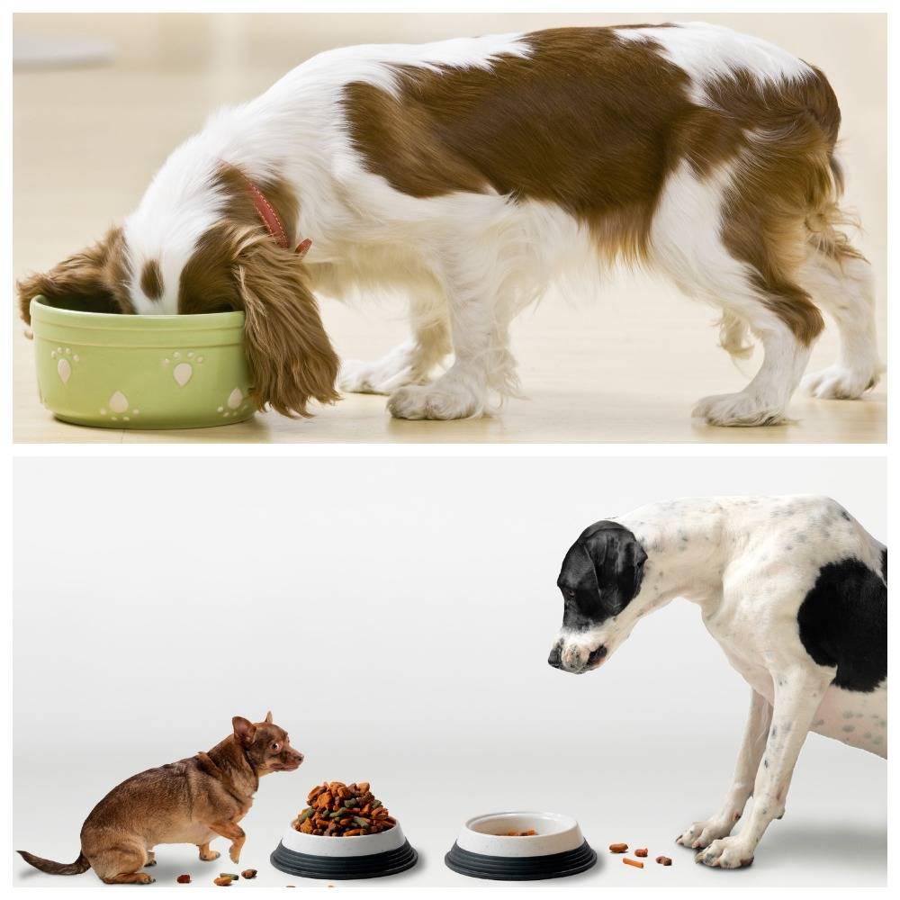 В чём заключается вред сухого корма для собак?