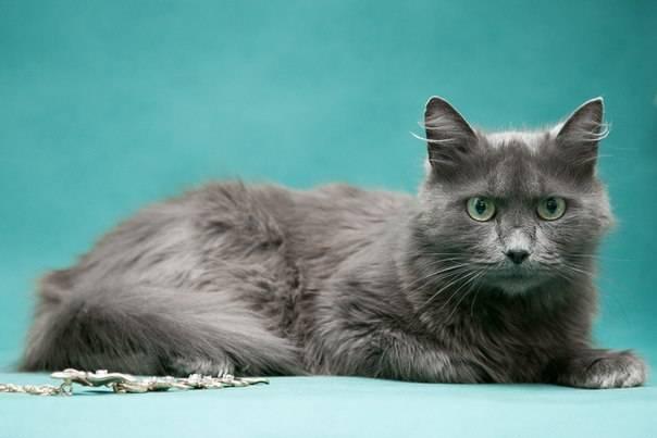 Кошка нибелунг (фото): дымчатый красавец с хорошими манерами