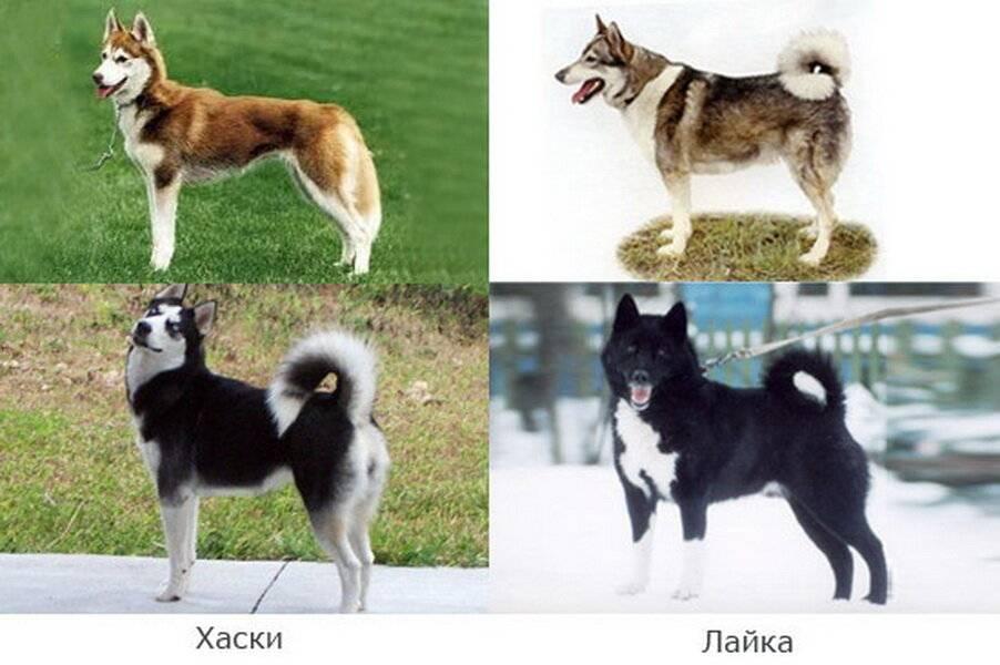 Собаки похожие на хаски — обзор пород с фото и названиями