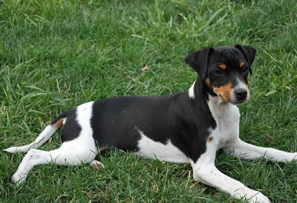 Алано (аланская собака, испанский бульдог): опасание породы с фото и видео