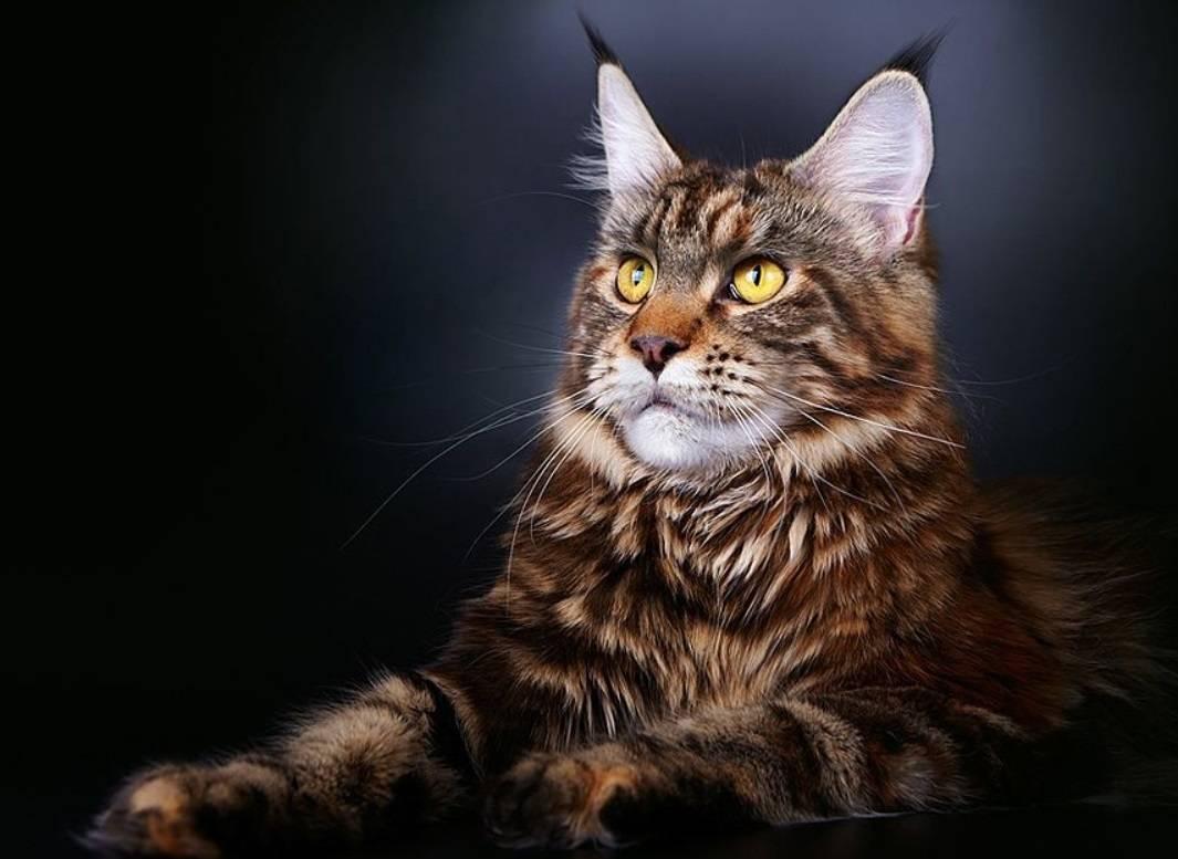 10 причин, почему нужно завести себе кота породы «мейн-кун»