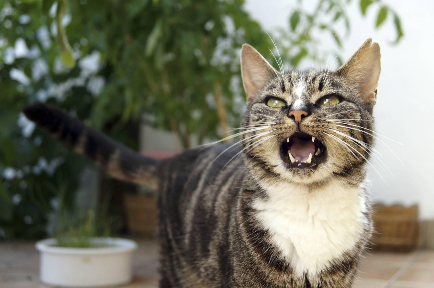 Кошка постоянно мяукает