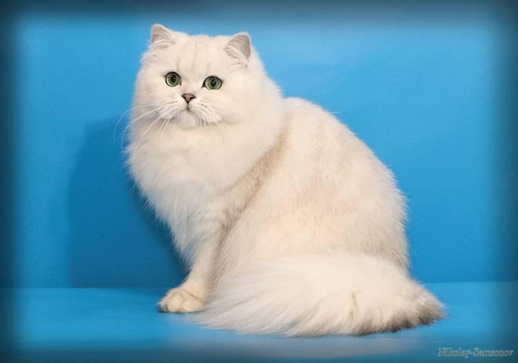 Британские длинношёрстные кошки: особенности внешнего вида породы, поведения и ухода