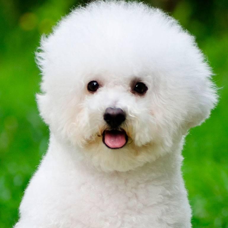 Бишон фризе: описание породы, характер и цена щенков.