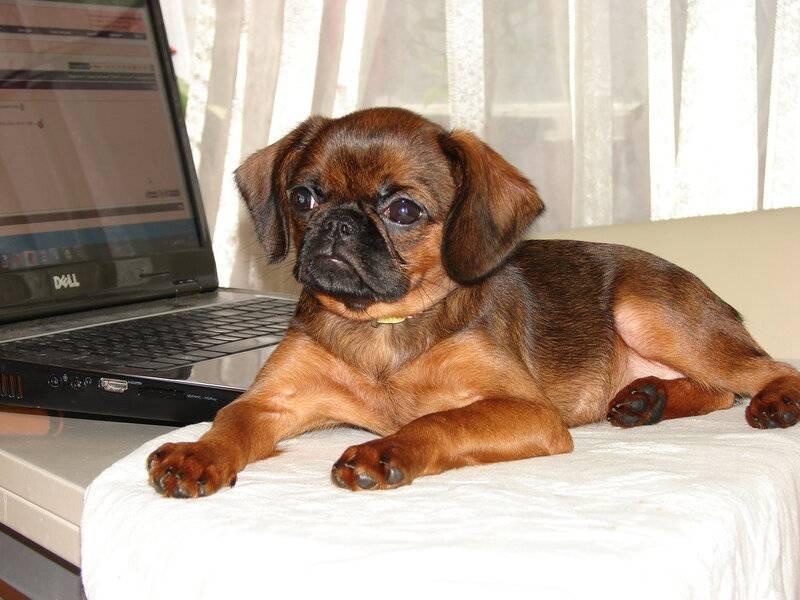 Порода собак пти брабансон: характеристика, описание, щенки