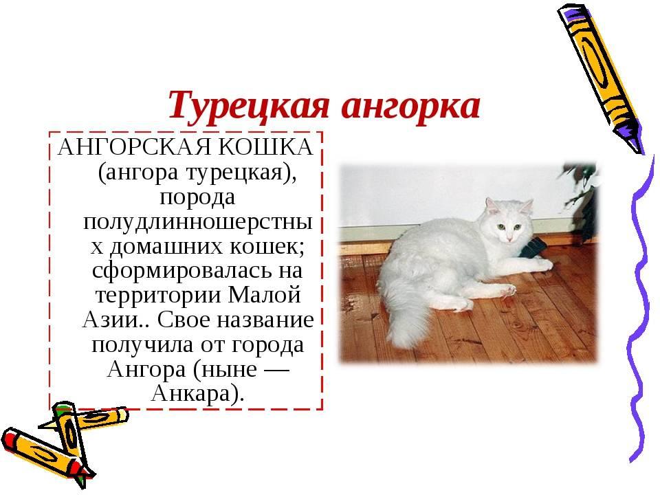 Турецкая ангора