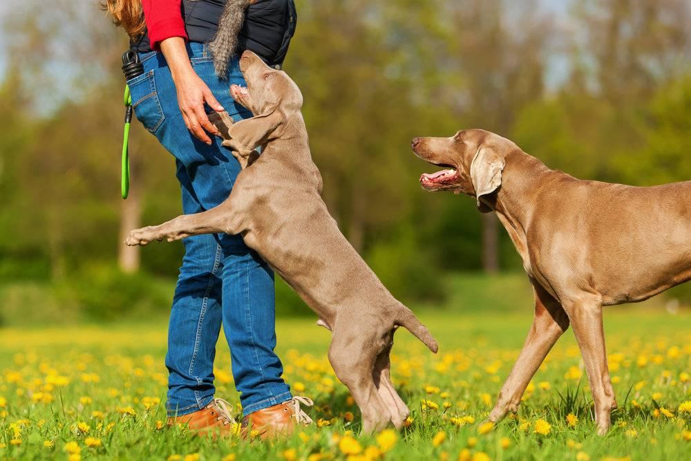 Почему хозяин должен быть «вожаком» для своей собаки   gafki.ru   яндекс дзен