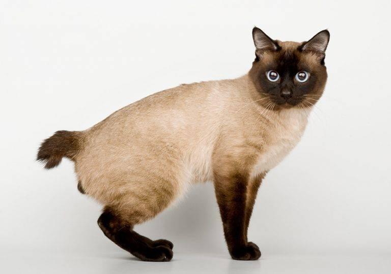 Меконгский бобтейл (фото): экзотическая тайская кошка с коротким хвостом