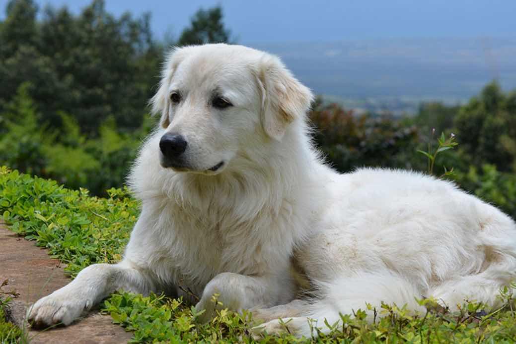 Мареммо-абруццкая овчарка (фото): воплощение преданности