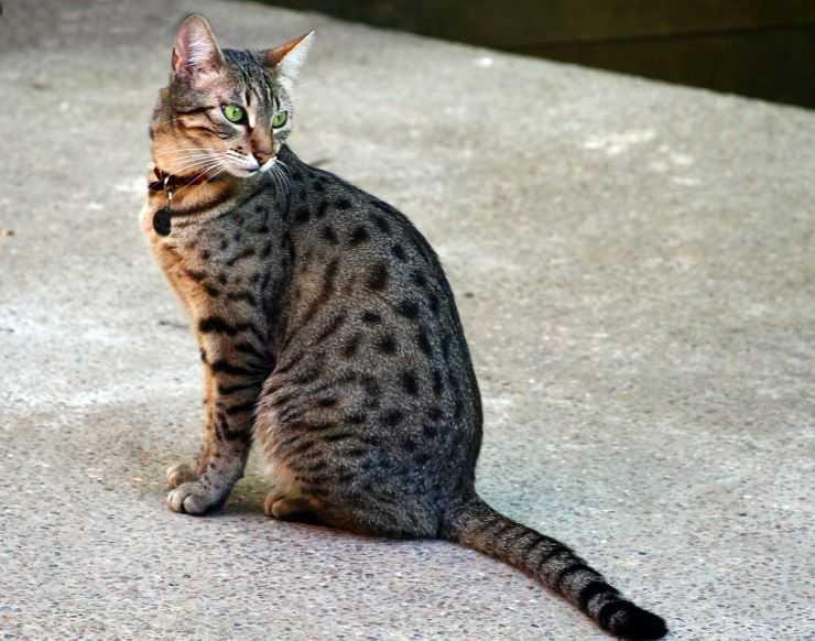 Порода кошек арабская мау — характер, как ухаживать, особенности питания
