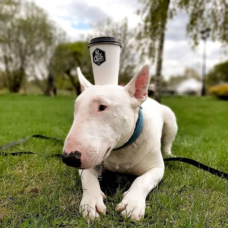 Бультерьер: подробное описание породы собак с фото и видео