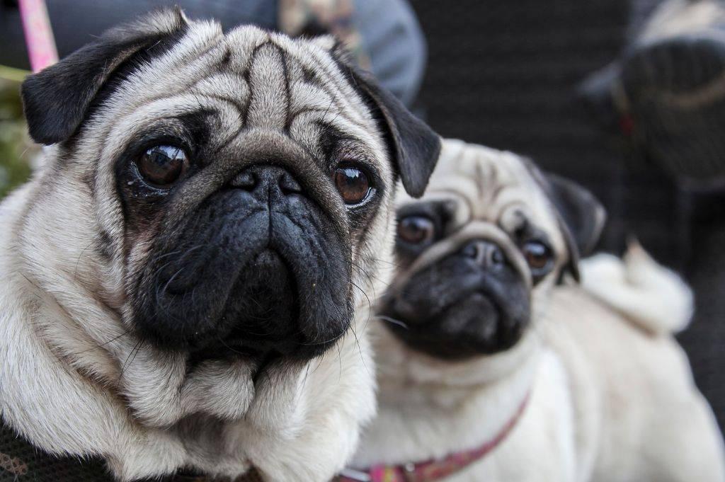 Собака мопс: описание породы и характер щенков