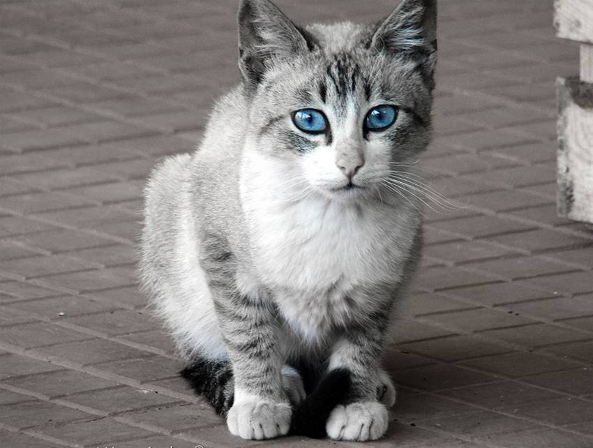 Охос азулес (ojos azules) кошка: подробное описание, фото, купить, видео, цена, содержание дома