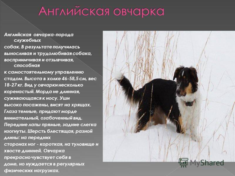 Пастушьи породы собак с фотографиями и названиями