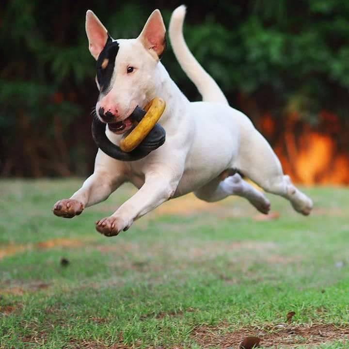 Миниатюрный бультерьер: описание породы собак с фото и видео