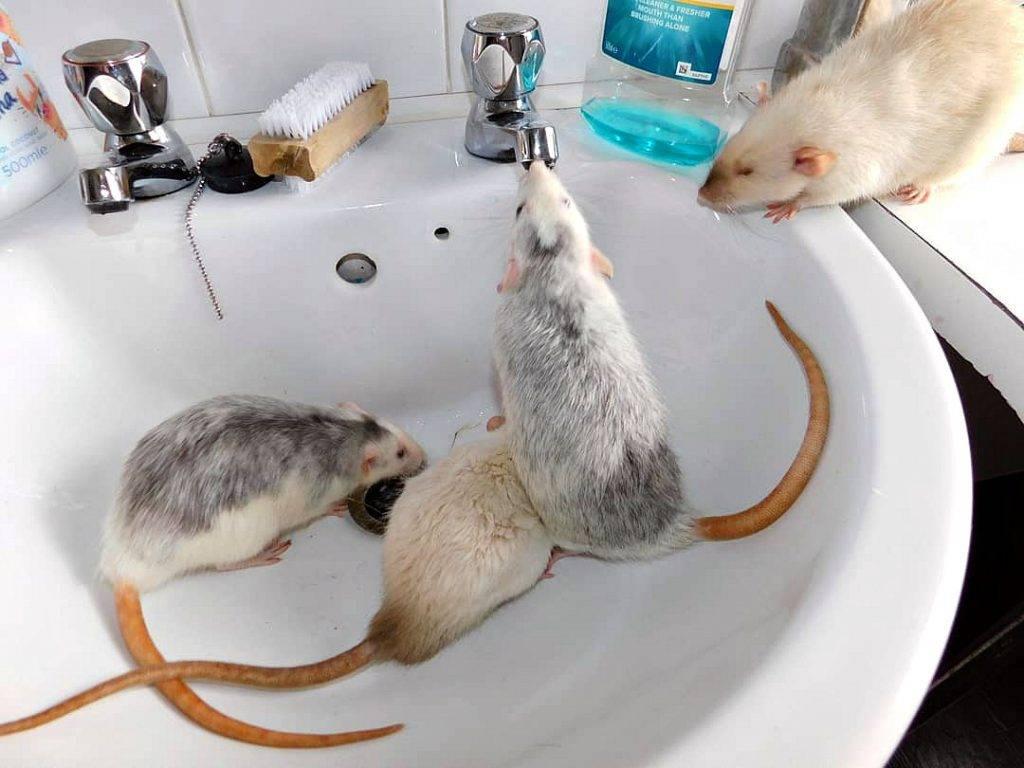 Мышь домашняя декоративная - варианты окраса и маркировки