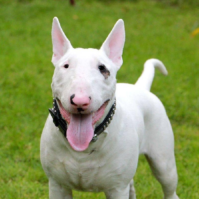 Собака с крысиной мордой. бойцовская собака бультерьер: описание, характеристика, фото