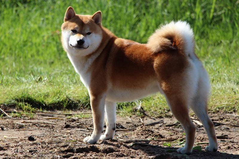Японские породы собак: названия, фото, описание, характеристика